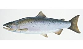 Lašiša (sužvejota Baltijos jūroje)